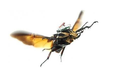 اخبار , اخبار علمی,توسعه حشرات سایبورگ,نحوه توسعه حشرات سایبورگ