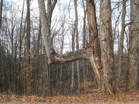 درختان غیر عادی,عجایب طبیعت, درختان خمیده