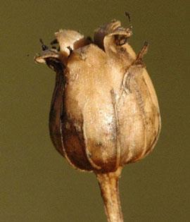 گیاه چوبک چیست؟ آشنایی با خواص و مضرات آن