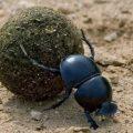 dung-beetle-640x441