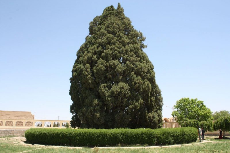 درخت-سرو-ابرکوه