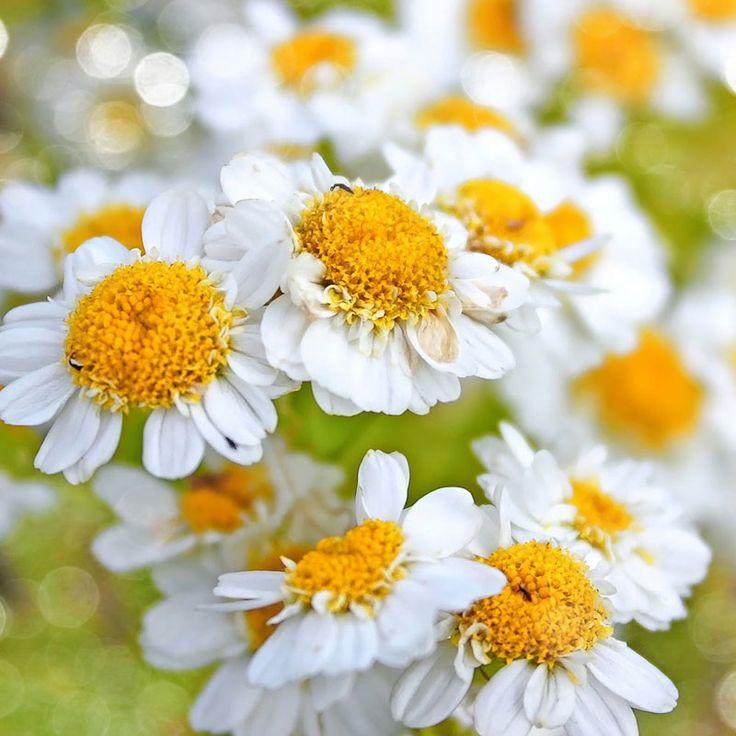 خاصیت گل بابونه برای پوست