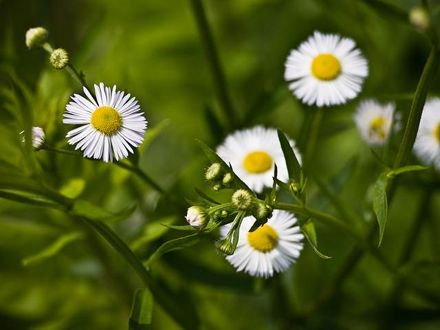 خواص گل بابونه برای پوست