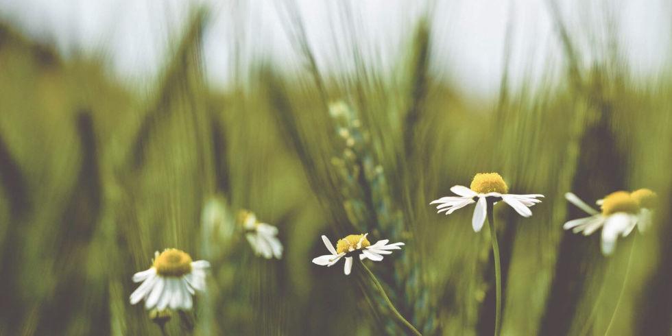 فواید گل بابونه برای پوست