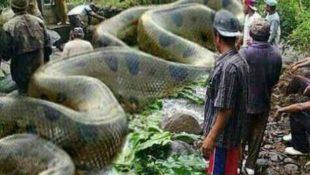 عکس بزرگترین مار جهان , عکس های مار آناکوندا