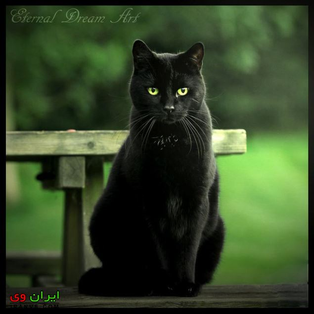 تعبیر خواب گربه سیاه وحشی