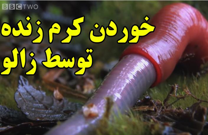 فیلم ترسناک خوردن کرم زنده توسط زالو