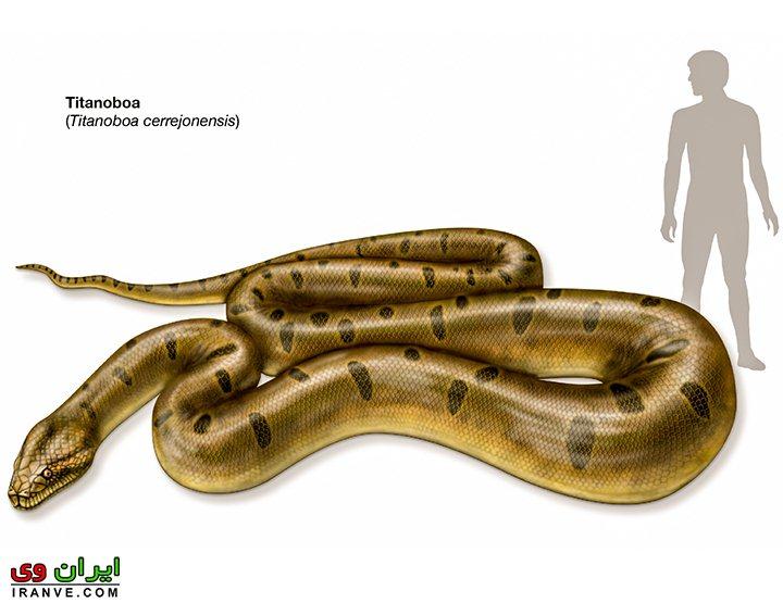 مقایسه ابعاد انسان با بزرگترین مار دنیا تیتانوبوآ