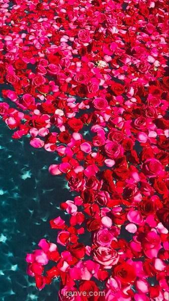 پروفایل دخترونه پر از گل های رز قرمز