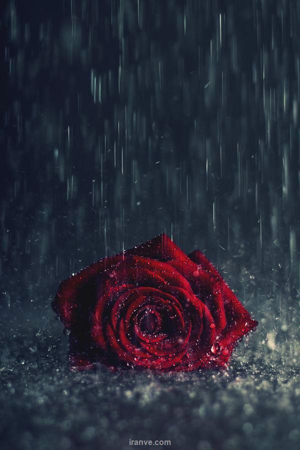 شاخه گل رز زیر بارون