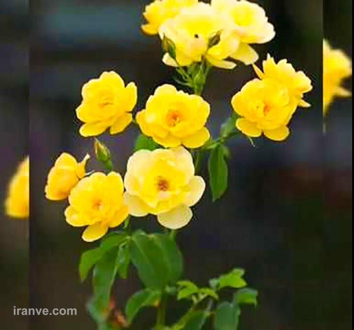 عکس پروفایل گل به چه معناست