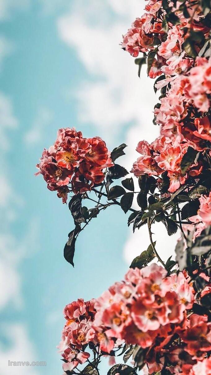عکس پروفایل گل گلی