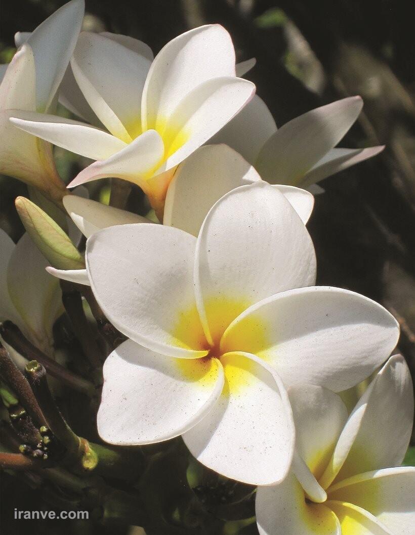 عکس پروفایل گل قشنگ