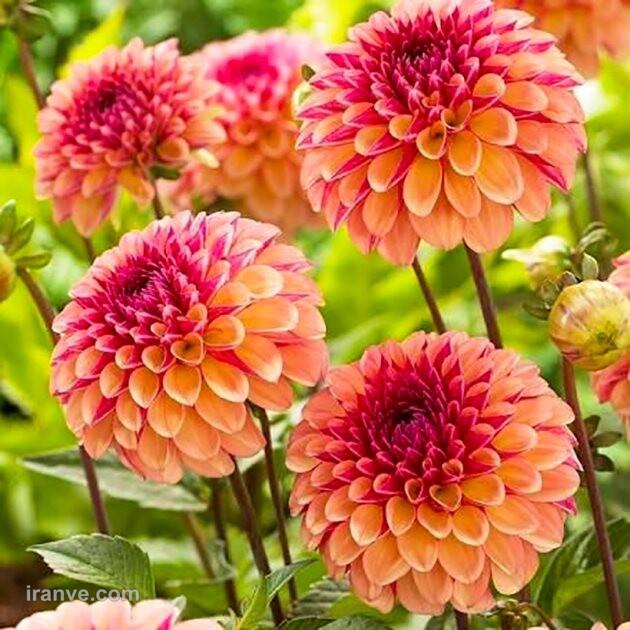 عکس پروفایل گل فاطمه