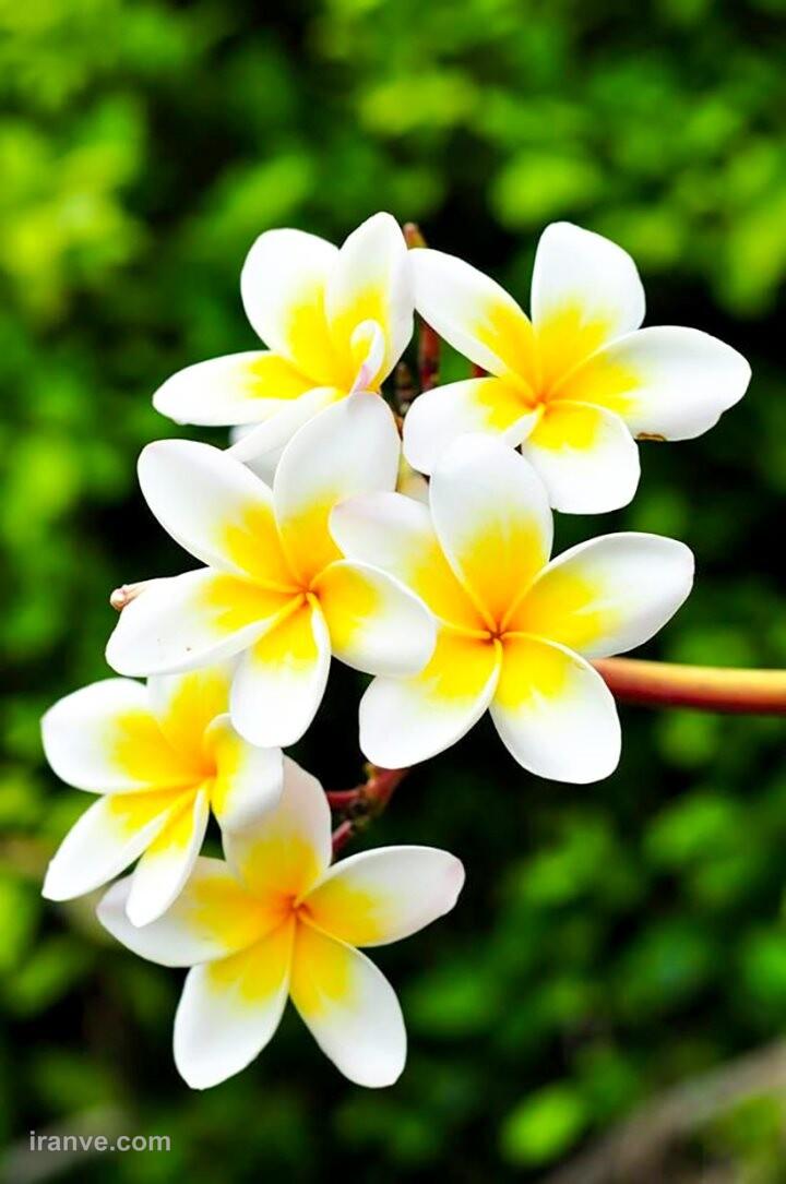 عکس پروفایل گل های قشنگ
