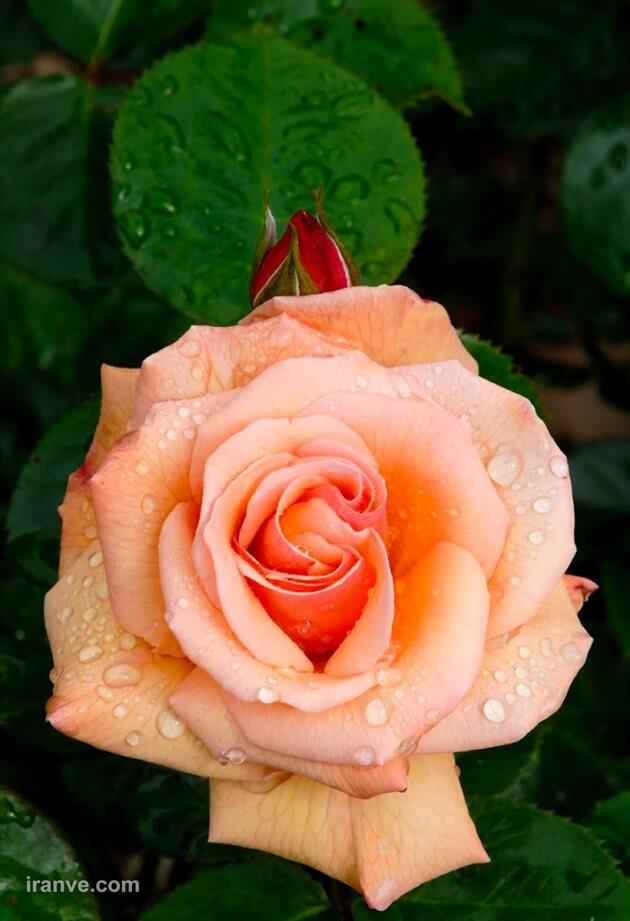 عکس پروفایل گل خیلی قشنگ